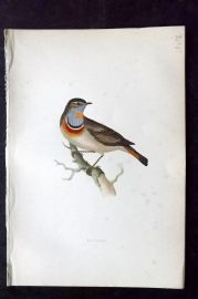 Morris 1870 Antique Bird Print. Bluebreast